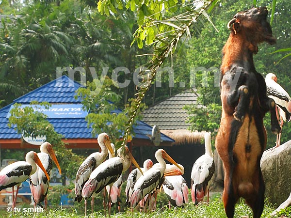 Zoo Negara's free-flying Painted Storks with a Mountain Goat